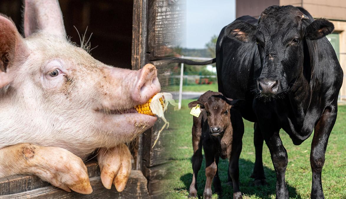 Haltung, Rind, Schwein